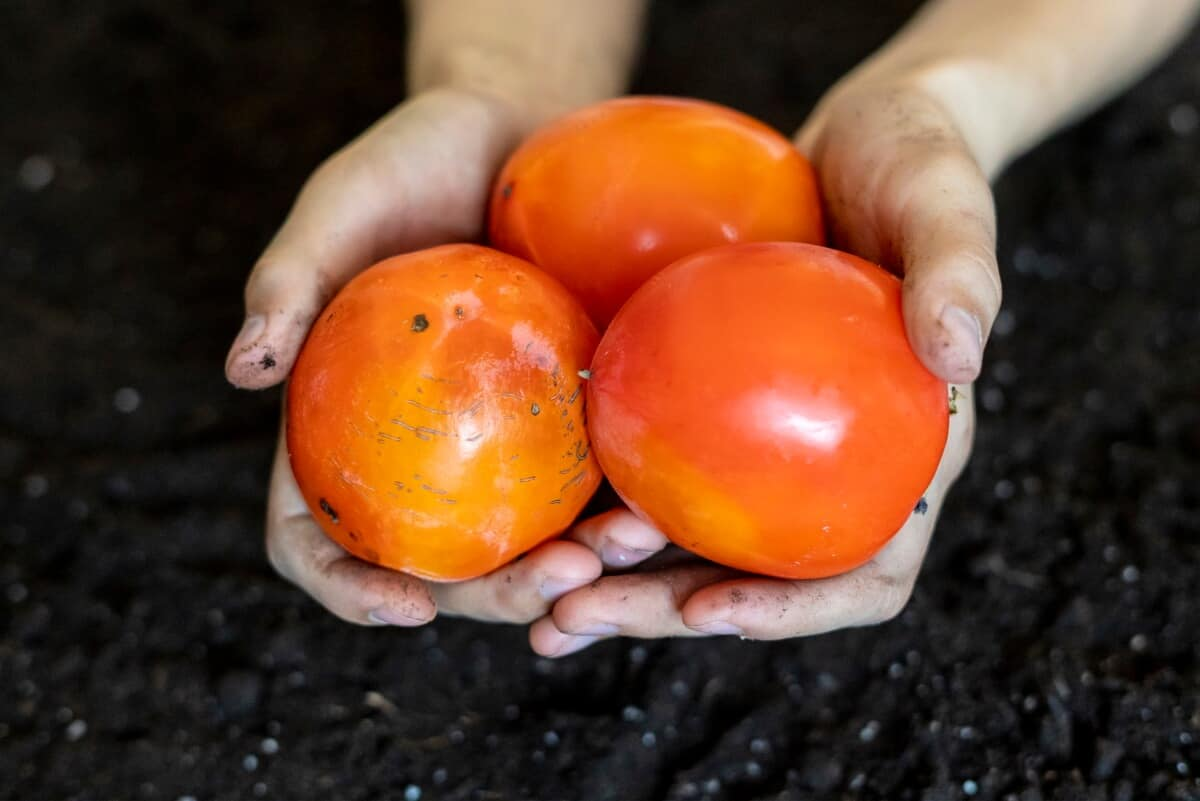 Common Types of Persimmons