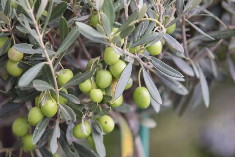 Where do olives come from